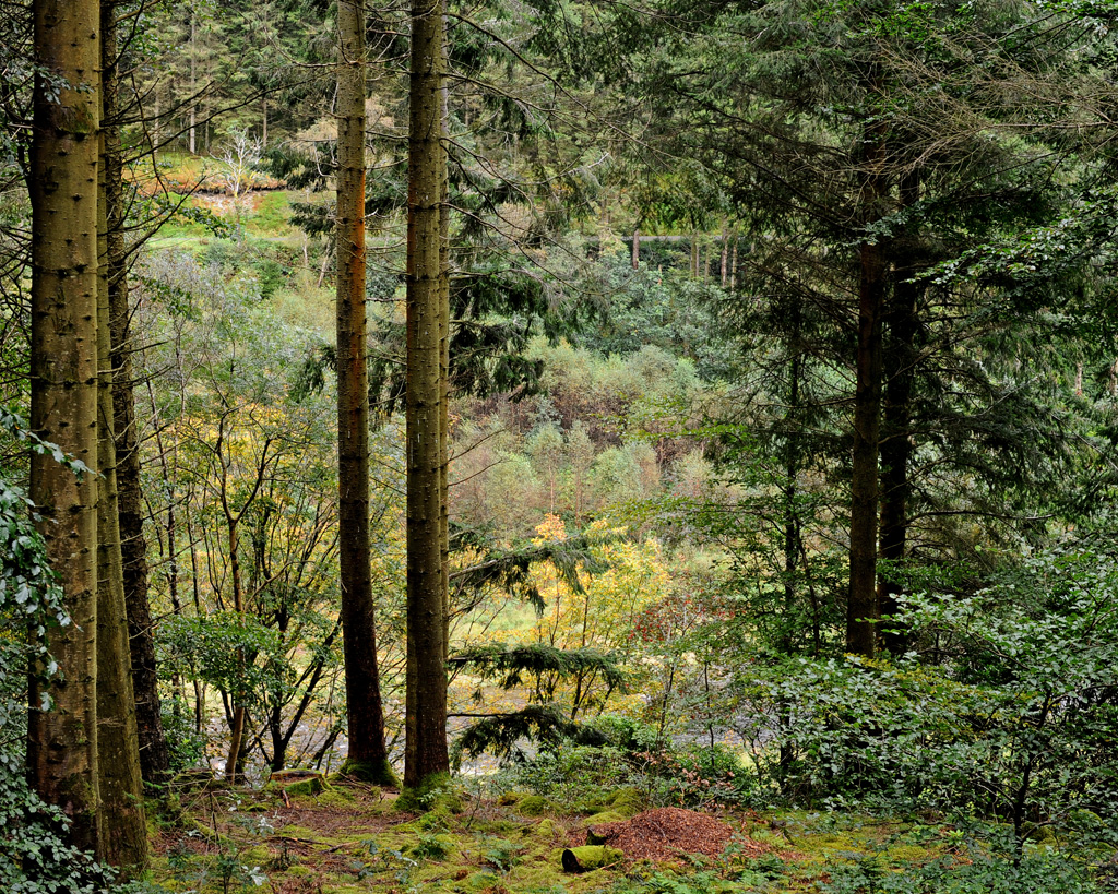 Hafod Trees
